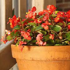 begonia flower begonia