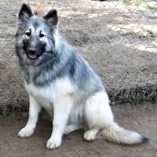 belgian sheepdog hypoallergenic native american shepherd sires u0026 dams majestic view kennels
