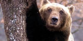 animali da cortile in centro abitato l orso l animale simbolo dell abruzzo pi禮 amato e pi禮 temuto