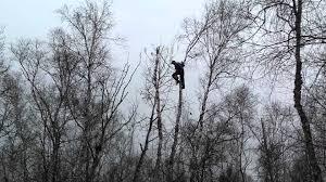 woodchuck tree service cutting birch trees in my backyard youtube