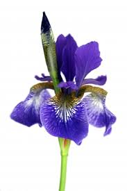 Birth Flowers By Month - birth flower for february is the iris february amethyst