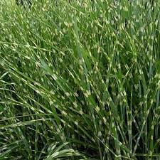 northern nurseries ornamental grass grasses