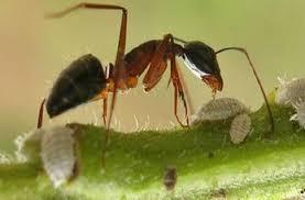 النملة الإنتحارية