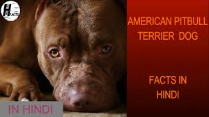 land of giants american pitbull terriers american pitbull terrier dog facts hindi dog facts hinglish