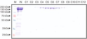 Heterologous Expression and Purification of the CRISPR Cas12a Cpf1
