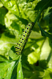no that is not a monarch caterpillar on your parsley plant