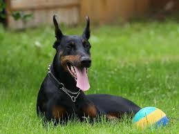 boxer dog in heaven rottweiler doberman pitbull mix animall
