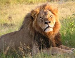 the bigger story behind the killing of cecil the lion that the