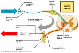 Pain Reflex Pathway Ch 13 Basic Reflex Terminology