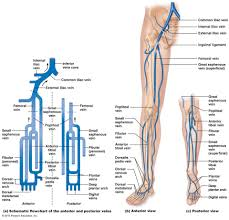 lower extremity venous anatomy google search pa