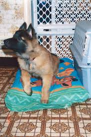 belgian shepherd wanted this little has been with me since my first day of