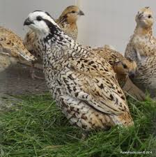 mexican speckled quail eggs purely poultry