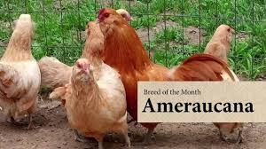 ameraucana chicken august breed of the month youtube