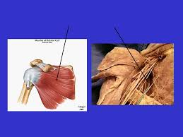 Innervation Of Supraspinatus Muscle Flash Cards Prepared By Feng Yen Li Supervised By Kim