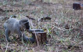 studying primate cognition in a social setting to improve validity