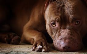pitbull wallpapers cute brown pitbull dogs wallpapers