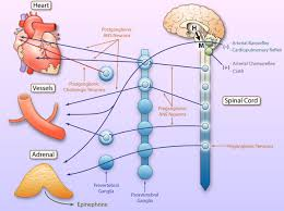 adrenergic nervous system in heart failure circulation research
