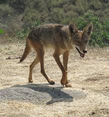 coyote like this in my backyard photography pinterest