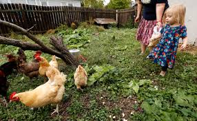 trend of raising backyard chickens brings spike in illnesses from