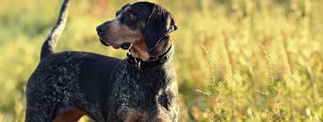 bluetick coonhound origin bluetick coonhound breed guide learn about the bluetick coonhound