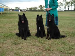 belgian sheepdog litters jesse wheezie litter bel royale belgian sheepdogs