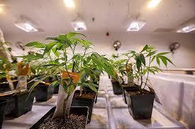 chambre de culture complete cannabis chambre de culture complete cannabis grow your seeds 100 chambre de