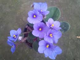 african violet grow light fafardminiature african violets