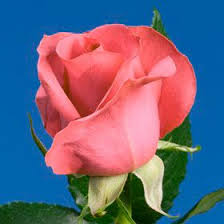 global roses 44 best s day images on valentines day