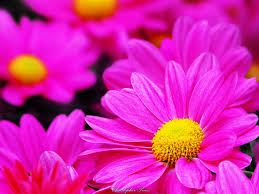pretty pink daisy love flower beautiful flowers nice wallpapers