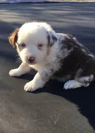 australian shepherd mini puppy miniature australian shepherd puppy for sale in comanche tx adn