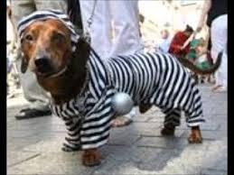 raduni bassotti mascherati dachshunds costume parades mars
