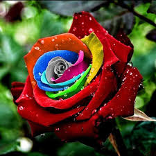 Colorful Roses 200pcs Colorful Rose Flower Seeds Lover Plants Home Garden Yard