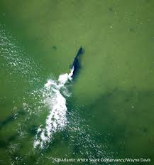 great white shark versus seal dramatic chase photographed off