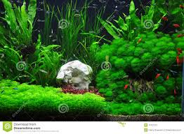 platies tetras and mollies in aquascaping stock image image