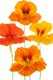 nasturtium flowers flower facts nasturtium grower direct fresh cut flowers