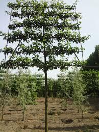 pyrus calleryana chanticleer ornamental pear espalier 6