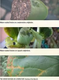 Types Of Bacterial Diseases In Plants - bacterial diseases u2013 bighaat com