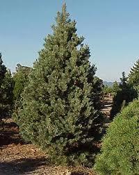 scotch pine christmas tree crest ranch christmas tree farm santa california bay area