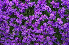 purple flowers flowers texture flowers flower background flower texture
