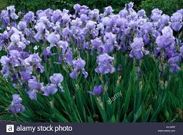 iris u0027jane phillips u0027 blue flowers tall bearded fragrant garden