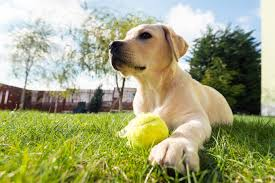 labrador retriever dog breed information pictures