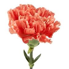 wholesale carnations carnation eflowy fresh cut flowers wholesale carnations 150
