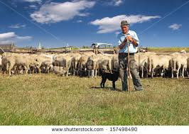 australian shepherd herding sheep sheep dog stock images royalty free images u0026 vectors shutterstock