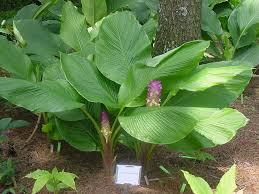 plant guide curcuma cordata ornamental