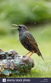 common starling sturnus vulgaris perched on an ornamental bird bath
