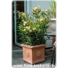 Kies Garten Gelb Nerium Oleander Gelb Oleander Rosenlorbeer Flora Toskana