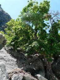 acer glabrum mountain maple