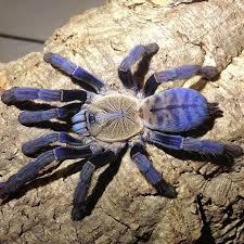autumn specials rozzer s tarantulas