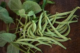 valentine bush bean 53 days heirloom