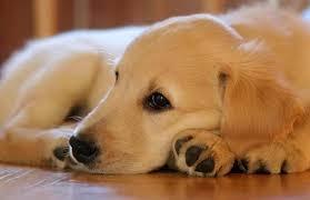 australian shepherd kalamazoo puppy adoption dog adoption puppies the barking boutique